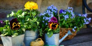Na parapecie stoją kwiaty w metalowych naczyniach. Widzimy bratki w doniczce w kształce trapezu. Chryzantemę żóltą w okrągłym metalowym wiaderku. Oraz posadzone bratki w doniczce w kształcei konewki. Obrócz tego w tle mamy koszyk wiklinowy, który również pełni rolę doniczki a w nim niebieskie kwiatki, zapewne niezapominajki oraz bratki. Kwiaty stoją na drewnianym parapecie na tle kamiennej ściany.
